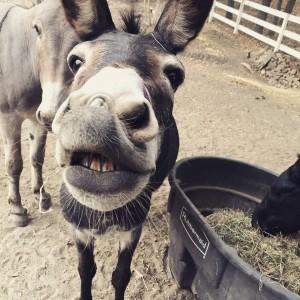 messina donkey
